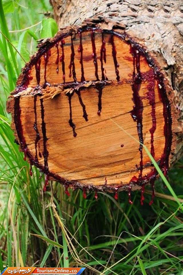 اگر این درخت را زخمی کنید خونریزی می کند!، تصاویر